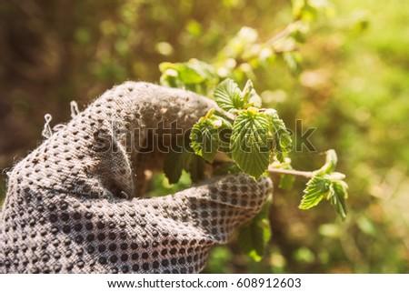 Gardener examining hazel tree leaf Stock photo © stevanovicigor