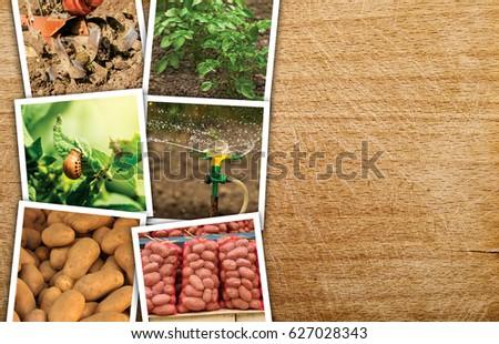 ジャガイモ · フィールド · 美しい · 緑 · 未熟 · 農業 - ストックフォト © stevanovicigor