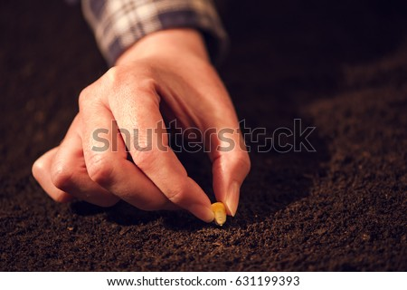 female hand seeding corn in agricultural arable field soil stock photo © stevanovicigor