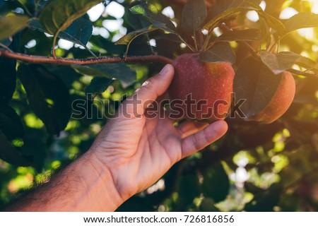farmer examining apple fruit grown in organic garden stock photo © stevanovicigor