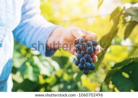Femenino cosecha uvas de uva orgánico agricultor Foto stock © stevanovicigor