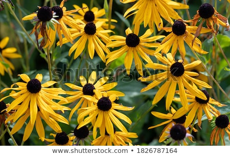 Field of yellow flowers of orange coneflower also called rudbeckia Stock photo © olira