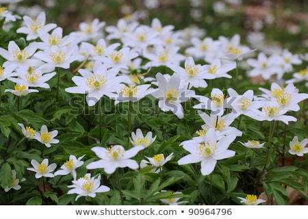 Wood anemone (Anemone nemorosa) Stock photo © RazvanPhotography