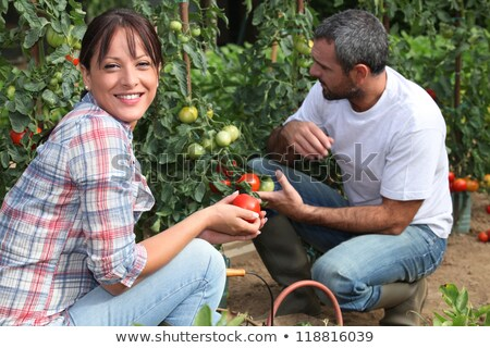 Couple picking tomatoes Stock photo © photography33