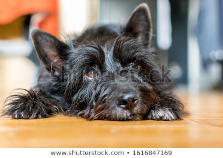 cairn terrier puppy stock photo © eriklam