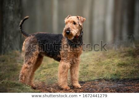 retrato · terranova · perro · marrón · jardín · triste · animales - foto stock © capturelight