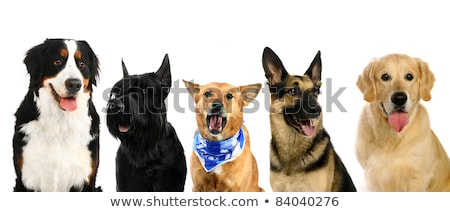 mixed breed dog half shepherd stock photo © eriklam