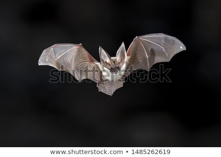 Long Eared Bats Stock photo © Snapshot