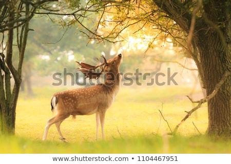 Mooie reekalf herten zonlicht gras witte Stockfoto © vwalakte