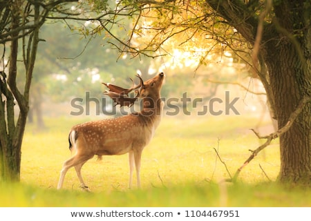 beautiful fawn  Stock photo © vwalakte