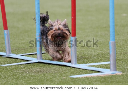 Yorkshire Terrier at the agility competition. Stock photo © frank11
