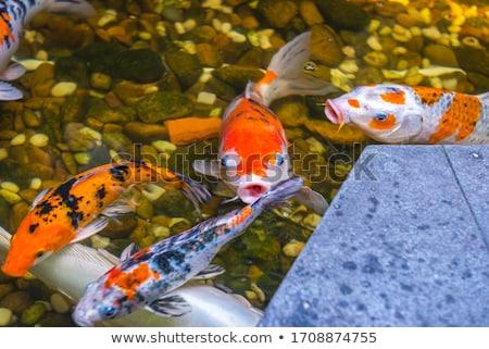 Nice Goldfish étang eau asian chinois Photo stock © ArenaCreative