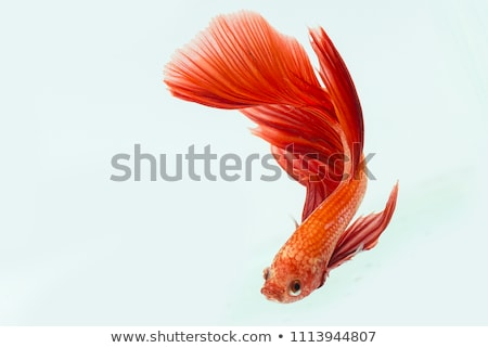 Beta vis macro mijn huisdier Blauw Stockfoto © ArenaCreative