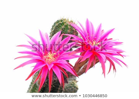 Floraison cactus géant jardin botanique Photo stock © tboyajiev