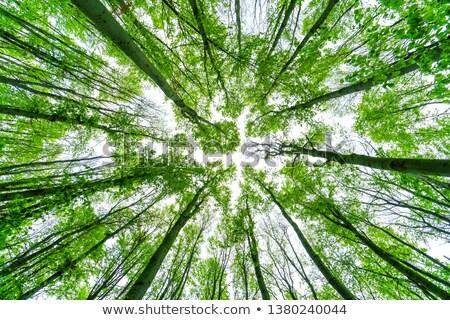 beech wood bottom view stock photo © hraska