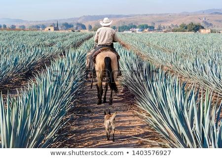 Mexikói gazdálkodás tájkép termés felhős kék Stock fotó © Camel2000