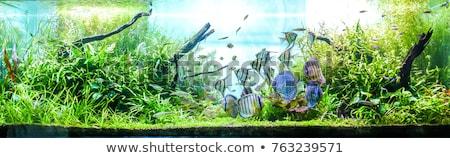 Amarillo peces acuario agua azul subacuático Foto stock © shihina