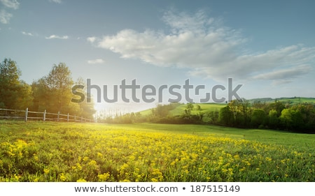 Fabulous landscape, field early in the morning , beautiful yellow flowers in the foreground Stock photo © Geribody