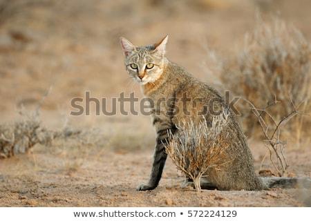 Afrikai vadmacska ül föld Dél-Afrika Afrika Stock fotó © dirkr