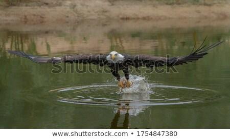 イーグル 写真 細部 鳥 庭園 ストックフォト © Dermot68