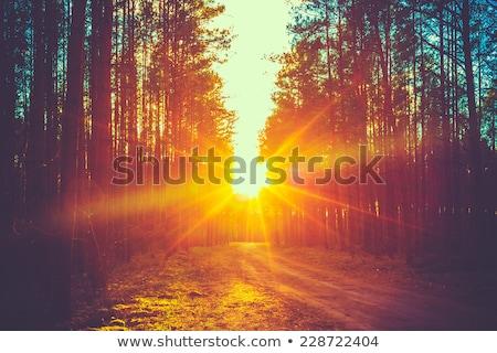 Naplemente erdő napsugarak zöld fák fa Stock fotó © sailorr