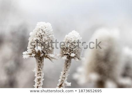 Kır çiçeği kapalı buz kır çiçeği çalı kış Stok fotoğraf © EFischen
