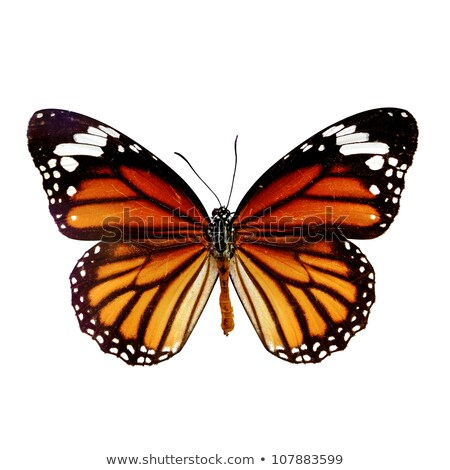 Monarch Butterfly with open wings resting Stock photo © pixachi