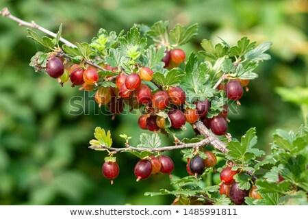 yaprakları · beyaz · meyve · arka · plan · yeşil · meyve - stok fotoğraf © valeriy