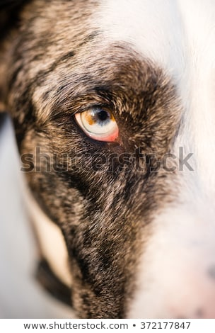 Intense Canine Dog Wolf Animal Eye Unique Color Stock photo © cboswell