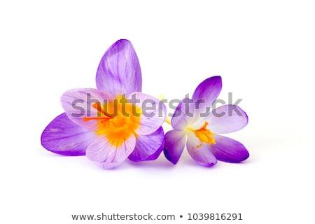 Foto stock: Açafrão · flor · ensolarado · prado · água
