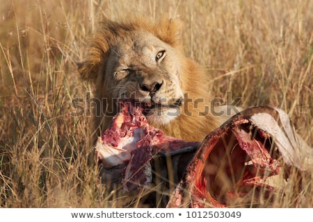 lions eating a zebra stock photo © byrdyak