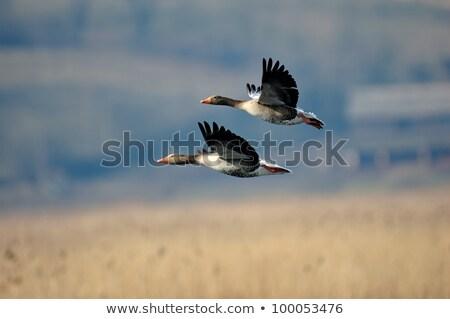 repülés · madarak · Banglades · víz · szem · kék - stock fotó © cboswell
