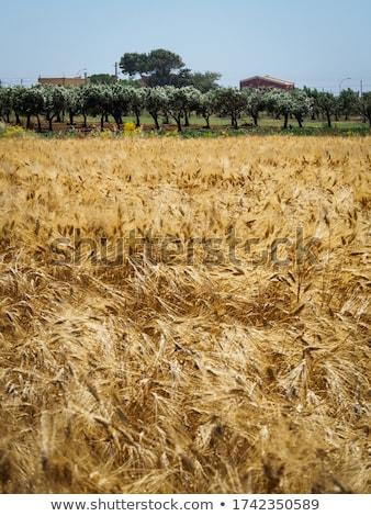 границе · кукурузы · области · зеленый · коричневый - Сток-фото © meinzahn