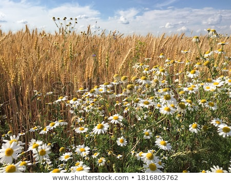 Field of Wheat and Cornflowers  Stock photo © courtyardpix