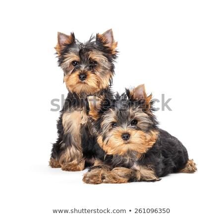 puppy yorkhsire terrier lying in white background stock photo © vauvau