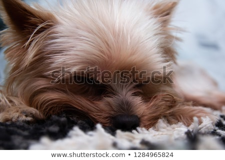 lovely yorkshire terrier lying in a white studio floor stock photo © vauvau