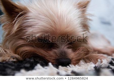 Stock photo: lovely yorkshire terrier lying in a white studio floor