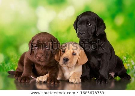 Three black Labrador puppy Stock photo © goroshnikova
