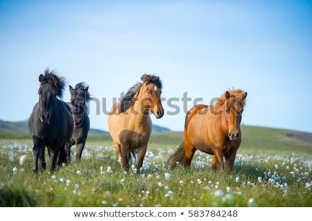 Chestnut horse in a pasture in Iceland Stock photo © Kotenko
