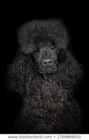 Poedel hond zwarte bont illustratie gelukkig Stockfoto © bluering