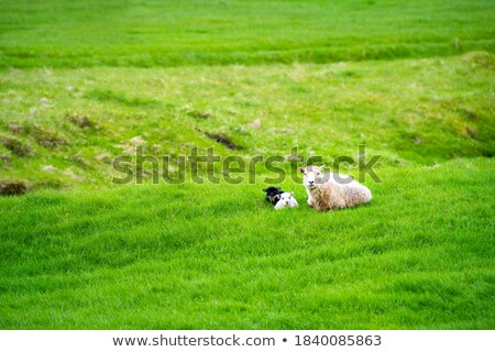 Three white sheep on a green field in Iceland Stock photo © Kotenko