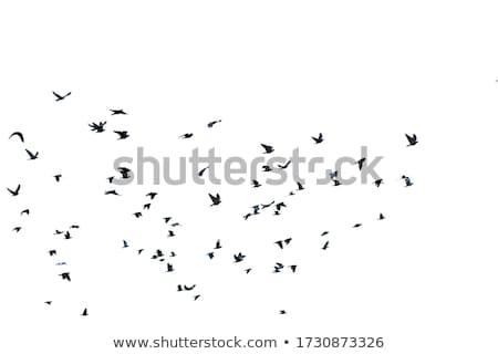 Blu uccello piccione set sagome isolato Foto d'archivio © orensila
