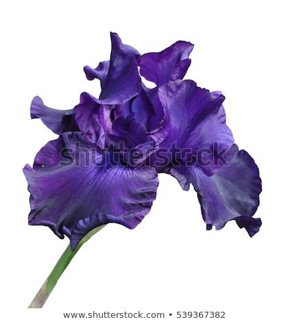 Aislado púrpura iris establecer blanco primavera Foto stock © naffarts