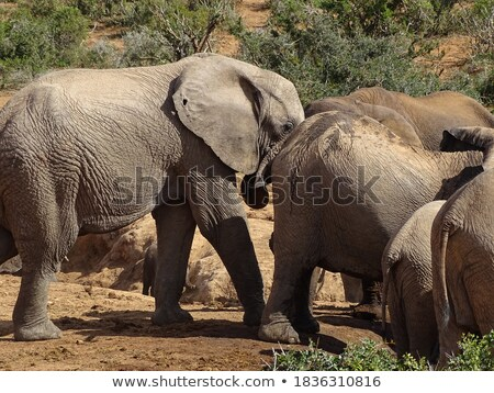 wild elephant animal in kruger national parc stock photo © compuinfoto