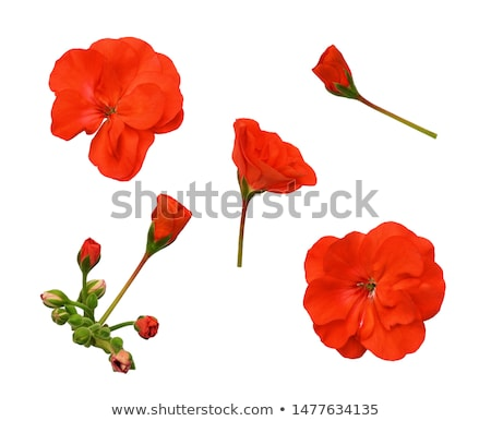 Red geranium flowers Stock photo © Lana_M