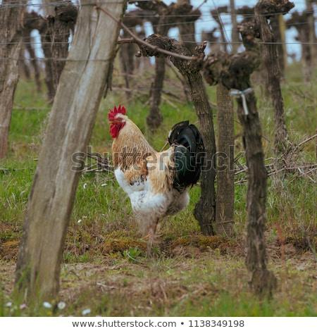 Koguta kura tradycyjny wolna drób Zdjęcia stock © FreeProd