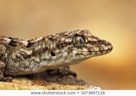 Stockfoto: Turkish Gecko Macro Portrait