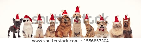 team of many christmas cats and dogs wearing santa caps Stock photo © feedough