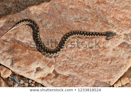 juvenile sand viper basking on a rock in natural habitat Stock photo © taviphoto