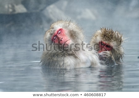 japanese macaques or snow monkeys at hot spring Stock photo © dolgachov